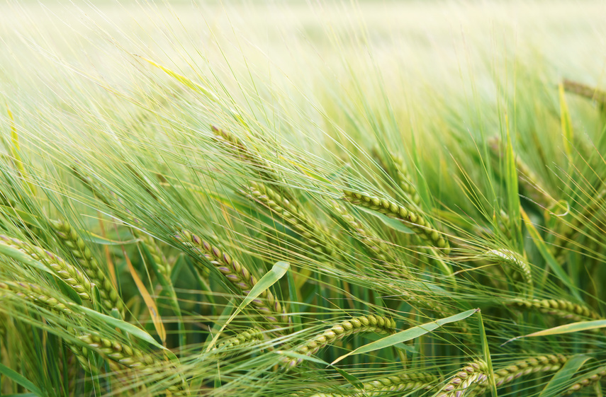Wissenschaftlern gelang es, Pflanzen für bestimmte Krankheitserreger resistent zu machen, gegen die sie zuvor nicht gewappnet waren. Nun erforschen sie, ob ihre Ergebnisse auch auf Nutzpflanzen wie Gerste übertragbar sind. (Bildquelle: © vimarovi/Fotolia)