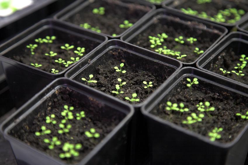 DELLA-Proteine gibt es bei allen höheren Pflanzen. Sie wurden erstmals in den 1990er Jahren in der Pflanze Arabidopsis thaliana, einem beliebten Modellorganismus der Pflanzenforschung, identifiziert. (Bidquelle: © Vasiliy Koval/Fotolia.com)