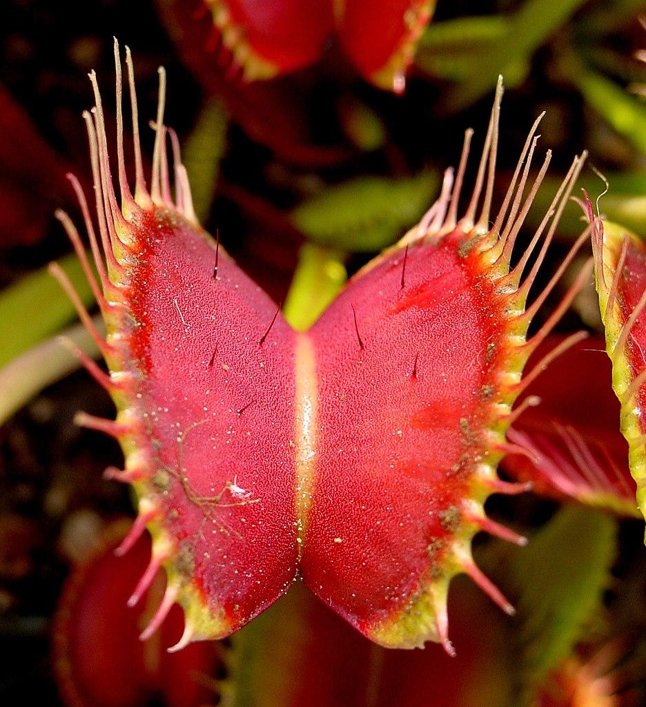 Auf dem Fangblatt einer Venusfliegenfalle sieht man deutlich die Fühlborsten, die das Zuschnappen auslösen.