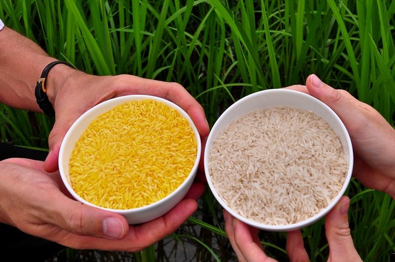 Reis, der Provitamin A (Beta-Carotin) enthält wird auch Goldener Reis genannt. Im Vergleich zu konventionellem Reissind die Reiskörner hier gelb bis orange gefärbt. Beta-Carotin ist die Vorstufe von Vitamin A und wird daher auch als Provitamin A bezeichnet. (Quelle: International Rice Research Institute (IRRI)/ CC BY-NC-SA 2.0)