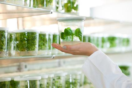 Potsdamer Forscher setzten gentechnisch veränderte Tabakpflanzen unter Selektionsdruck. Die Pflanzen, in denen die transgenen Chloroplasten in den Zellkern gewandert war, waren Antibiotika resistent.