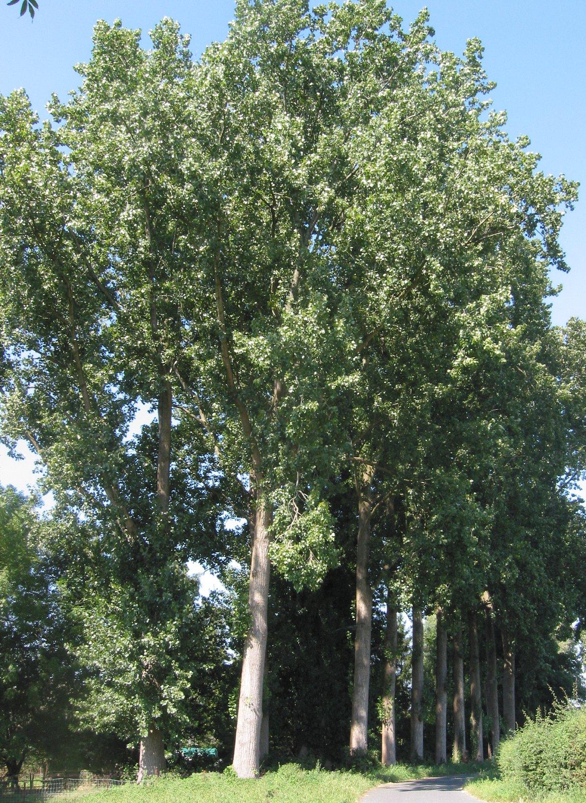Pappeln sind die Modellpflanze der Holzforschung. Sie sind eng verwandt mit Arabidopsis und haben ein wenig komplexes Genom. (Quelle: © Rasbak/wikimedia.org; CC BY-SA 3.0).