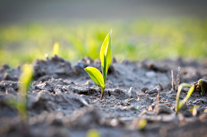 Auxine helfen Keimlingen dabei, dem Licht entgegen zu wachsen. Daneben haben Auxine noch so viele weitere Funktionen, dass sie ausgeklügelte Rezeptoren brauchen, um immer die richtigen Gene an- und abzuschalten. (Quelle: © Marco2811 - Fotolia.com)