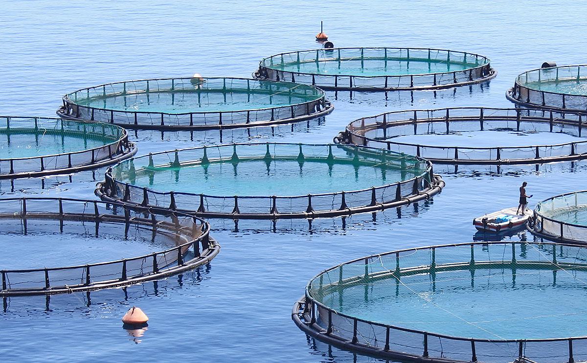In Netzgehegen im freien Meer oder in Buchten wachsen Lachse unter kontrollierten Bedingungen auf. Leider ist diese Form der Fischzucht mit negativen Folgen für das Ökosystem Meer verbunden. Ein Problem ist die Überdüngung u. a. aufgrund von überschüssiger Nahrung und Ausscheidungen der Tiere.