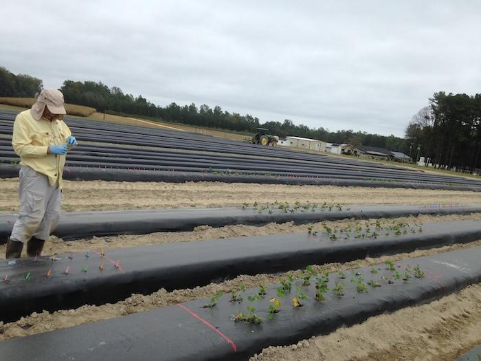 Der Wissenschaftler Peter Balint-Kurti sammelt Proben von Maispflanzen, auf einem Versuchsfeld in Clayton, North Carolina.