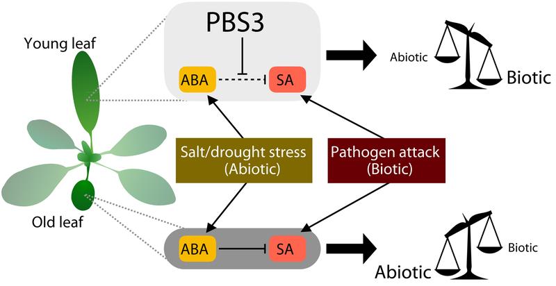 Das Blattalter ist entscheidend: In jungen Blättern (oben) wird durch PBS3 weniger Salicylsäure (SA) abgebaut. SA schützt vor Pathogenbefall (biotischer Stress) und die Blätter sind dadurch anfälliger für abiotischen Stress. Bei älteren Blättern (unten) geht dieser Effekt verloren. ABA schützt die älteren Blätter bei abiotischem Stress. Diese sind dann anfälliger für Pathogene.