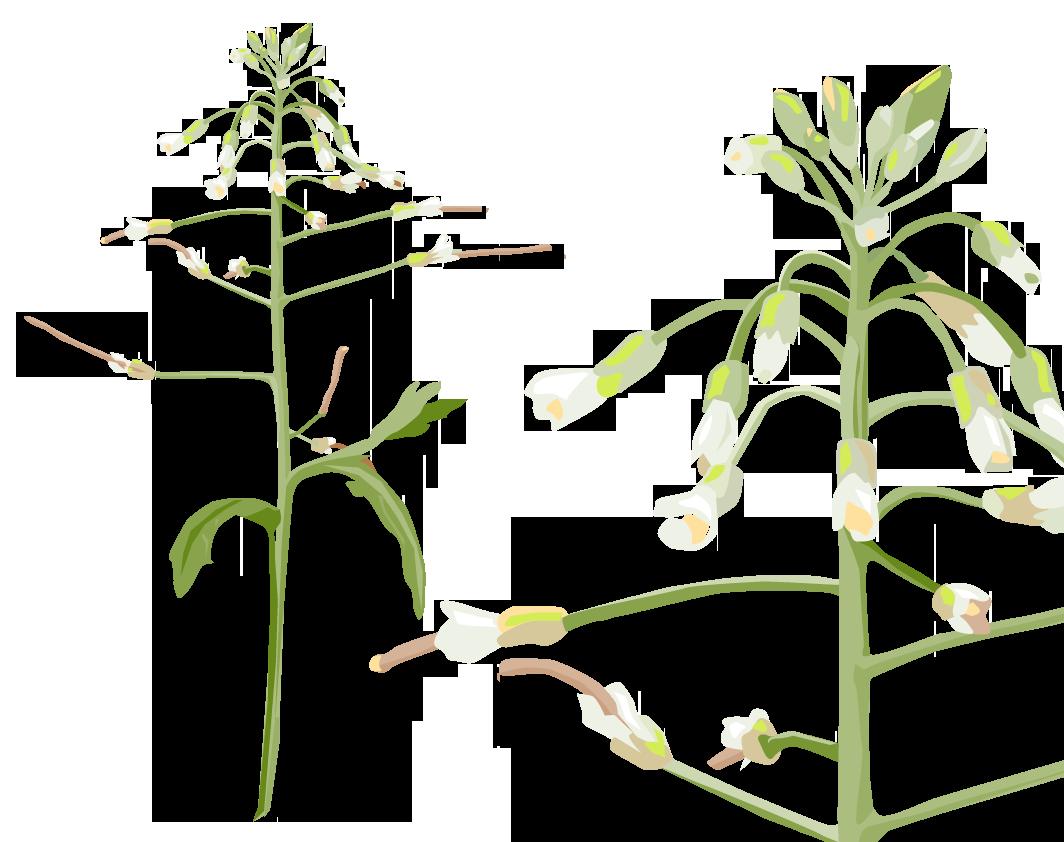Die Ackerschmalwand Arabidopsis thaliana gehört zu einer der größten Familien der Blütenpflanzen, den Kreuzblütengewächsen, und ist die wichtigste Modellpflanze in der Pflanzenforschung. Mehr zur Pflanze: Steckbrief
