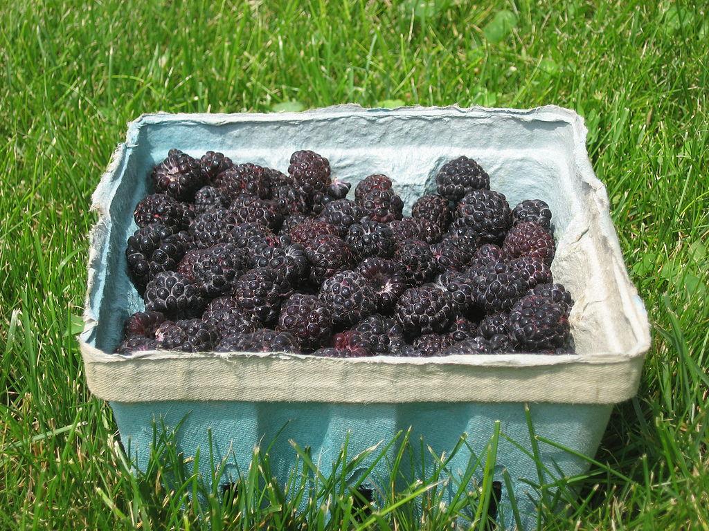 Schwarze Himbeeren (Rubus occidentalis) stammen ursprünglich aus Nordamerika und sind bei uns eher selten zu sehen.
