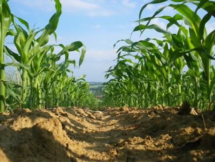 Maispflanzen als Forschungsobjekt (Quelle: © samossi / www.pixelio.de)