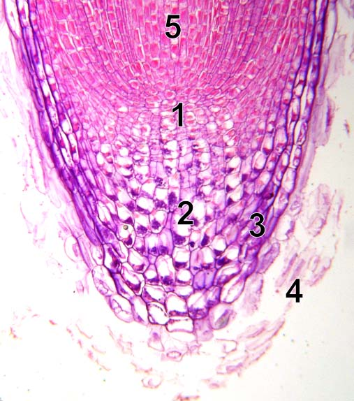 Die Stammzellnische (1) besteht aus Stammzellen umgeben von Organisationszellen. Von dort wächst die Wurzel in zwei Richtungen: an der Spitze entstehen Stärkezellen zum Schutz der Wurzelhaube (2-3). Dahinter liegt die Wachstumszone (5). Dort strecken sich die Zellen und schieben die Wurzelspitze tiefer in die Erde. Durch die Reibung lösen sich Zellen an der Spitze ab (4).