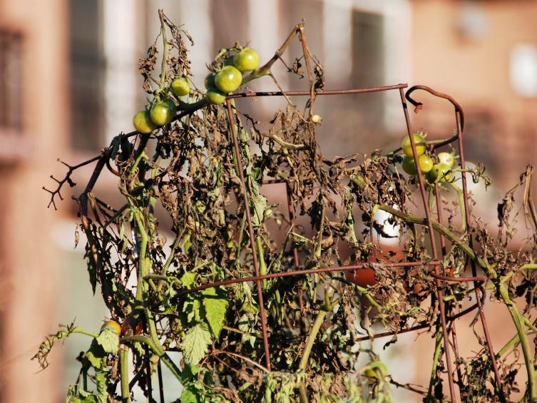 Der Pilz Verticillium dahliae greift nicht nur Tomaten, sondern auch zahlreiche andere Pflanzen, Sträucher und Bäume an. Manchmal verwelken die ganzen Pflanzen schon in wenigen Tagen. (Quelle: © iStockphoto.com/ Phil Augustavo)