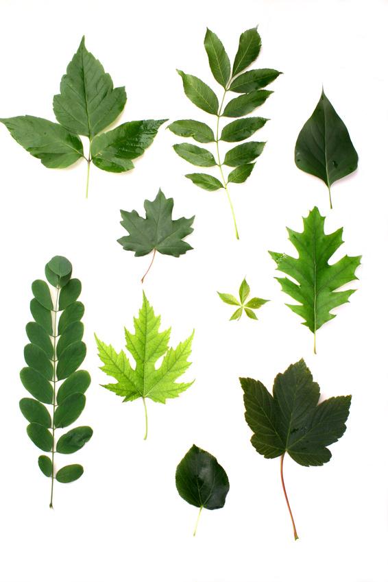 Die Blätter einer Pflanze haben alle etwa die gleiche Form und Größe. Zwischen verschiedenen Arten gibt es hingegen riesige Unterschiede.