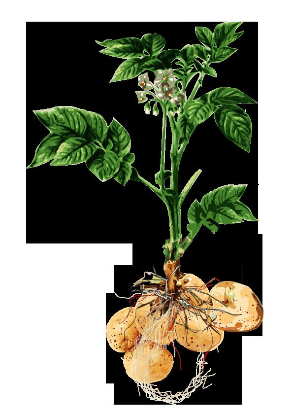 Kartoffel – Solanum tuberosum