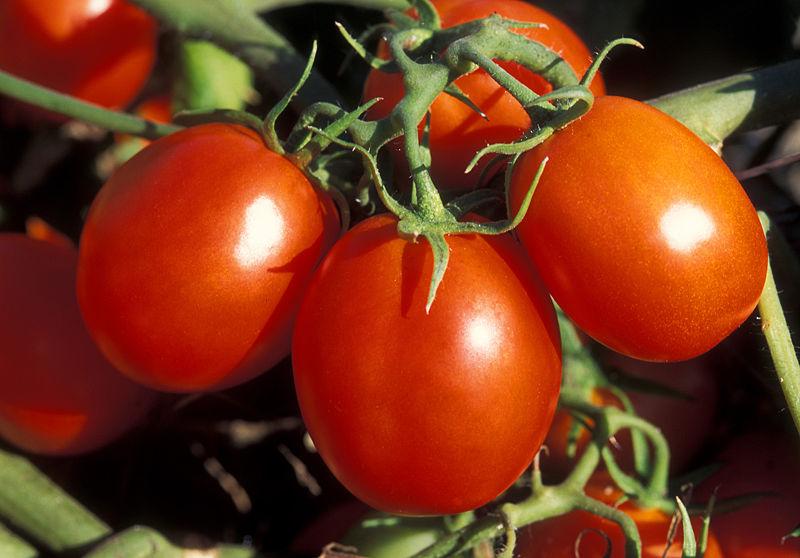 Spezifische Abwehrpepetide hatte man bislang nur in Nachtschatten-gewächsen entdeckt. (Quelle: © Penny Greb, USDA ARS / wikimedia.org; gemeinfrei)