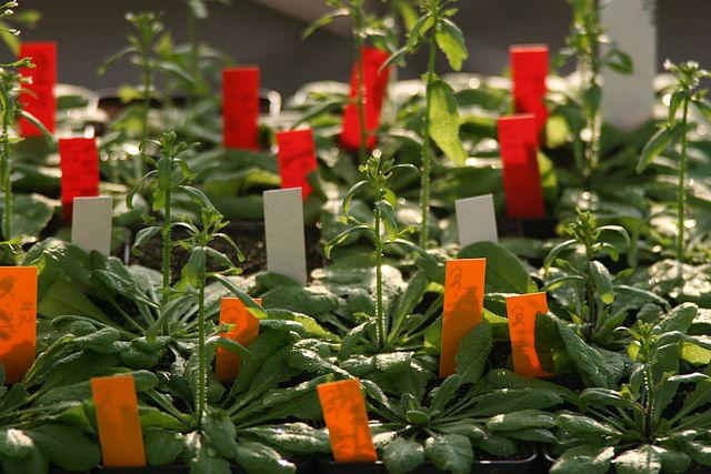 Am Beispiel der Modellpflanze Arabidopsis thaliana haben die Forscher das Vorgehen des Pilzes auf molekularer Ebene beobachtet (Quelle: © Claudia Vojta, MPIZ Köln / wikipedia.de; CC BY-SA 2.0 DE).