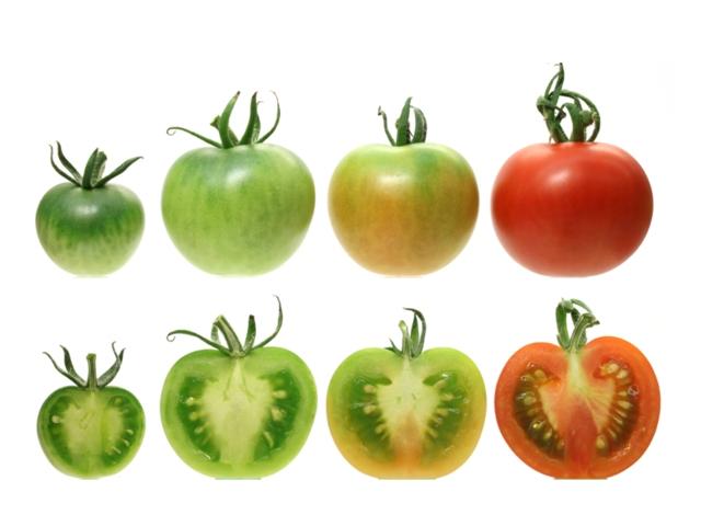 Die Färbung der reifen Früchte und deren Nährstoffgehalt werden durch den Chloroplastengehalt in unreifen Früchten, unter dem Einfluss des Transkriptionsfaktor SlGLK2, beeinflusst. (Quelle: © S. Zhong and J. Giovannoni).