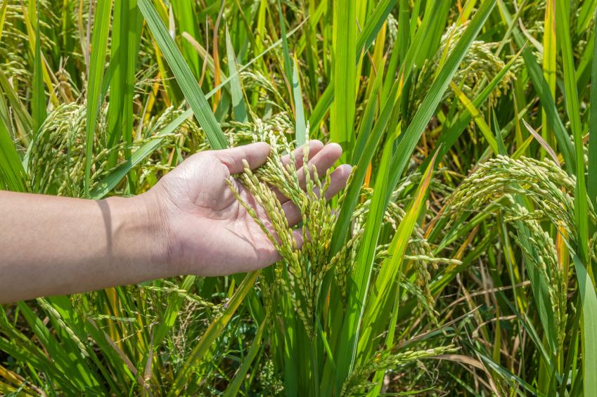 Ein Ziel der Pflanzenforschung ist es, ertragreichere Reispflanzen zu entwickeln, die gleichzeitig widerstandsfähiger sind gegen äußere Einflüsse wie Trockenheit. (Quelle: © iStockphoto.com/ nanoqfu)