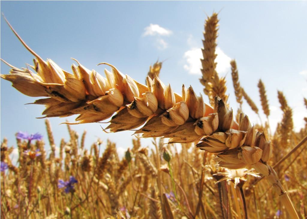 Der Ernteeintrag hängt von  der Anzahl und der Größe der Körner an einer Ähre ab. (Bildquelle: © Rainer Sturm/ pixelio.de)