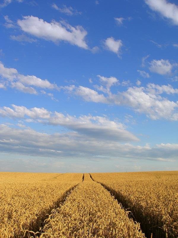 Bilder von goldgelben Kornfeldern sprechen Bände und verschleihern die Realität: Seit 1990 gehen die Erträge von Mais, Soja, Weizen und Reis weltweit zurück.