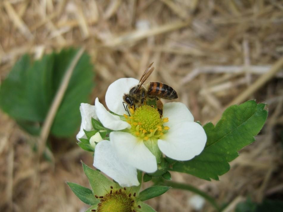 Werden die Blüten der Erdbeere von Bienen bestäubt, sind sie größer und schmecken besser als bei einer Selbstbefruchtung der Pflanze. (Bildquelle: © Alexander Wietzke/Universität Göttingen)