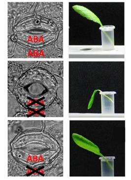 Das Stresshormon Abszisinsäure (ABA) schützt Pflanzen vor dem Verwelken. Unter seiner Einwirkung schließen Blätter bei niedriger Luftfeuchtigkeit ihre Spaltöffnungen und überleben (oben). Dabei wird ABA sowohl in den Schließzellen als auch in anderen Geweben gebildet. Eine Mutante, die überhaupt kein ABA mehr synthetisieren kann, wird schnell welk (Mitte). Wird in dieser Mutante nur in den Schließzellen ABA produziert (unten), verhält sie sich bei niedriger Luftfeuchtigkeit wieder wie eine normale Pflanze. (Bild - Quelle: © Peter Ache)