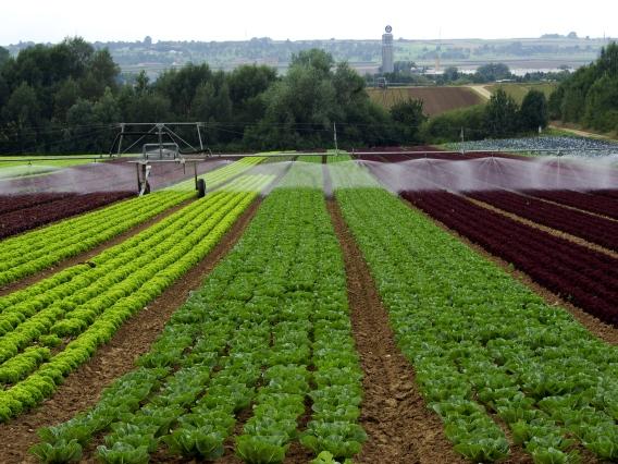 Durch Verfahren der künstlichen Bewässerung wird gewährleistet, dass alle Pflanzen auf dem Feld mit benötigtem Wasser versorgt werden. (Quelle: © Echino/ pixelio.de)
