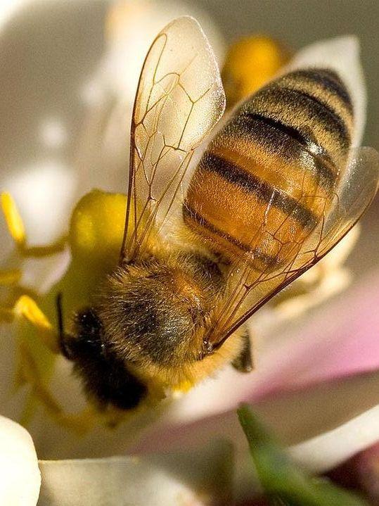 Viele Nutzpflanzen sind auf Tierbestäubung angewiesen. (Quelle: © Fanghong / Wikimedia.org; gemeinfrei)