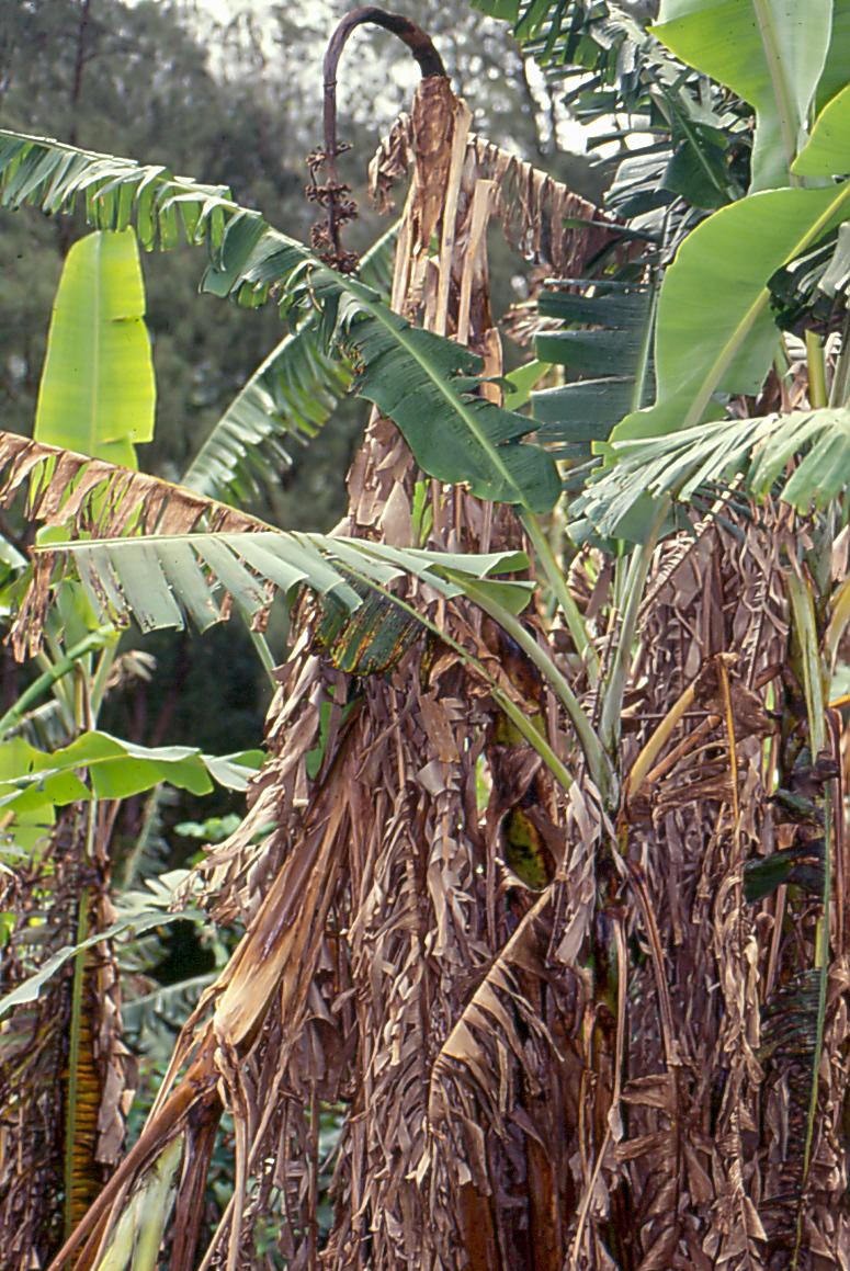 Der Pilz Fusarium oxysporum f. sp. cubense löst die gefürchtete Panama-Krankheit aus. Der bodenbürtige Pilz dringt über die Wurzeln in die Bananenpflanze ein und verstopft regelrecht deren Leitbahnen und verhindert den Wasser- und Nährstofftransport. Die Pflanze wird von der Versorgung abgeschnitten und stirbt ab.