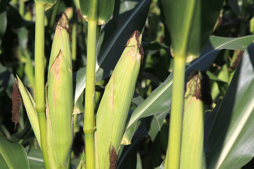 Mais ist eines der wichtigsten Grundnahrungsmittel in Afrika.