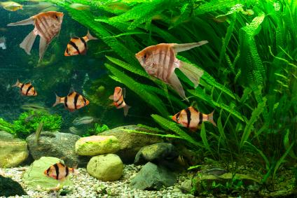 Die Madagaskar-Gitterpflanze ist auch eine beliebte, wenn auch anspruchsvolle Aquariumspflanze.