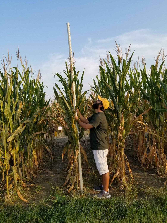 Für die Studie wurde Mais als Versuchspflanze gewählt. Hier misst Erstautor Abiskar Gyawali die Höhen der Maispflanzen auf dem Versuchsfeld.