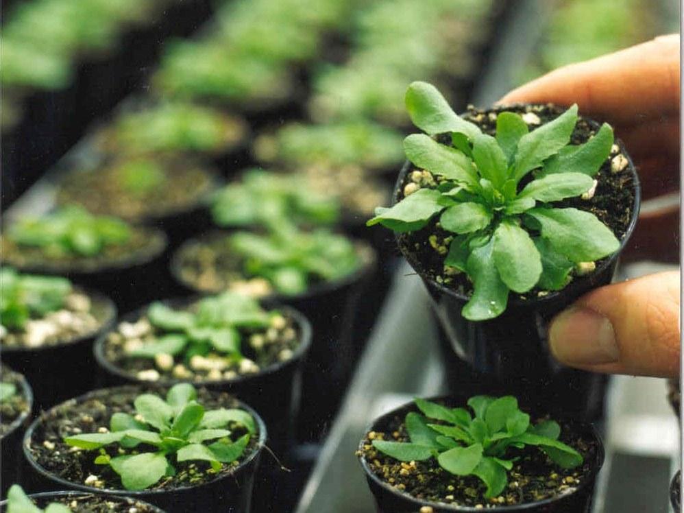 Arabidopsis professionell gezüchtet (Quelle: © GABI Geschäftsstelle)