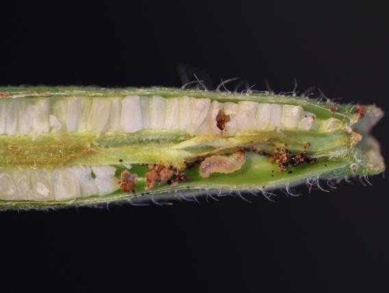 Eine Larve der Mottenart Mompha brevivitella verspeist hier die Samen der gemeinsamen Nachtkerze (Oenothera biennis). (Quelle: © Marc Johnson)