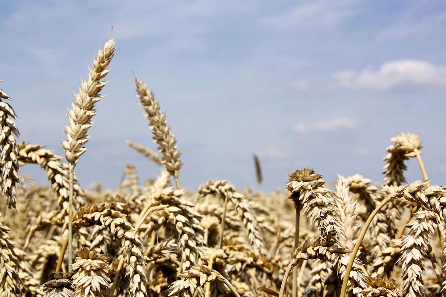 Hitze und Trockenheit könnten in Zukunft zu stärkeren Einbußen bei der Weizenernte führen als bisher angenommen. (Bildquelle: © Dako99/ wikimedia.org/ CC BY-SA 3.0)