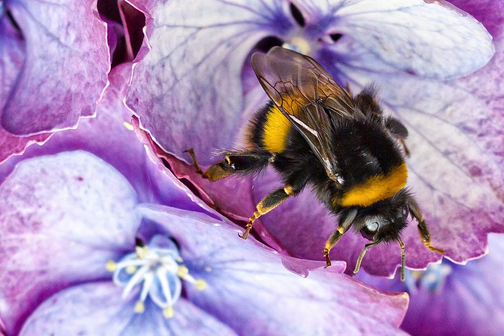 Wissenschaftlerinnen und Wissenschaftler haben den genetischen Code der Europäische Erdhummel (Bombus terrestris) vollständig entschlüsselt. (Bildquelle: © Dave Young, flickr.com, Creative Commons, CC BY 2.0)
