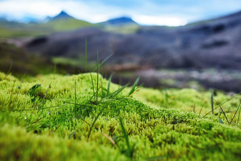 Moose mögen es feucht. Vermutlich hat sich bereits in diesen sehr alten Pflanzen die aktive Steuerung der Stomata entwickelt.
