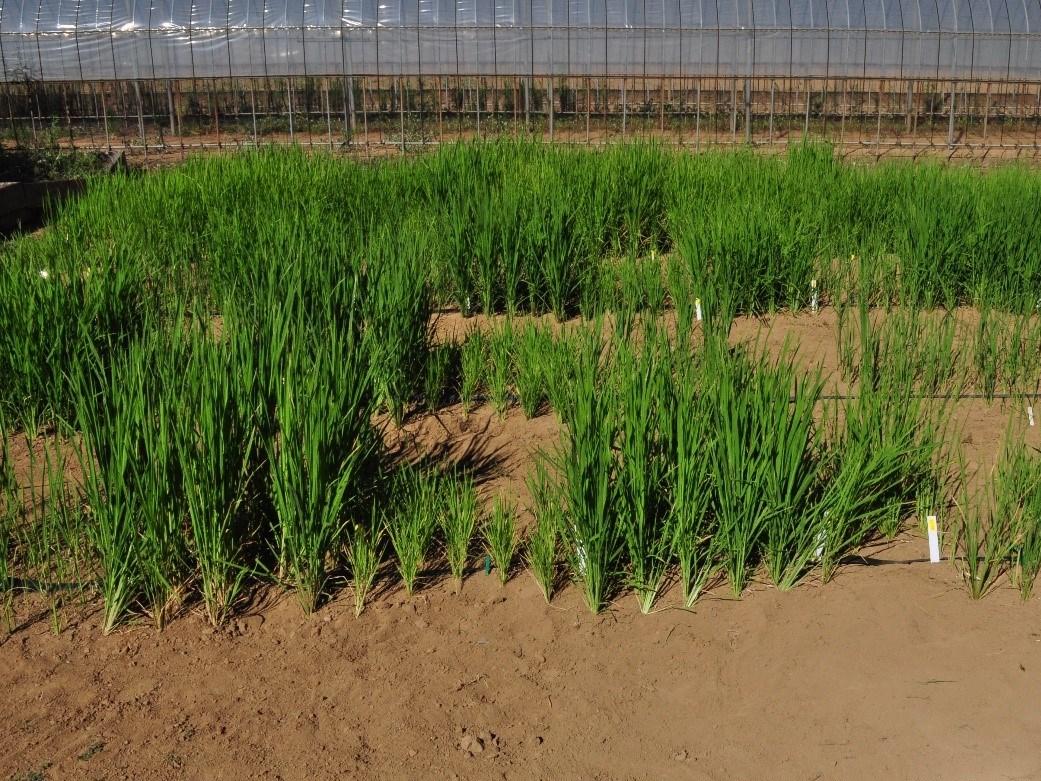 Trockenreisanbau in Japan: Die verschiedenen Reissorten zeigen unterschiedlich stark ausgeprägte Eigenschaften, den Nährstoff Phosphor aufzunehmen. Ein neues Verbundprojekt untersucht, welche Prozesse die Nährstoffaufnahme der Pflanzen im Trockenreisanbau verbessern können.