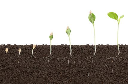 Nach der Embryogenese ist die Pflanze noch lange nicht fertig entwickelt. Es folgt, anders als bei Tieren, ein Prozess, bei dem post-embryonal wichtige Organe ausgebildet werden.