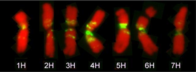 Mit Hilfe einer Fluoreszenz-Hybridisierung markierter Karyotyp der Gerste, am Beispiel von Chromosomen in der Metaphase bei der Mitose der Zellteilung.