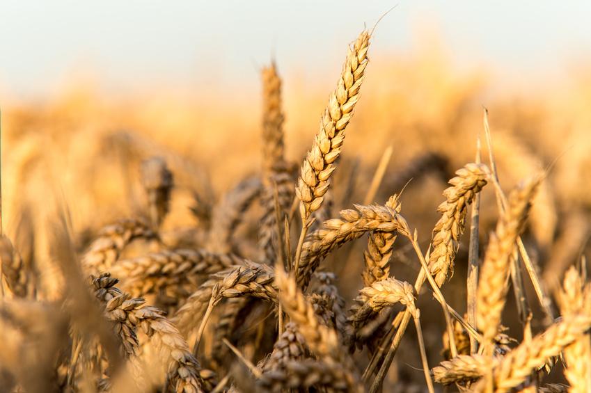 Weizen ist eines der wichtigsten Getreide weltweit. (Quelle: © davemhuntphoto / Fotolia.com)