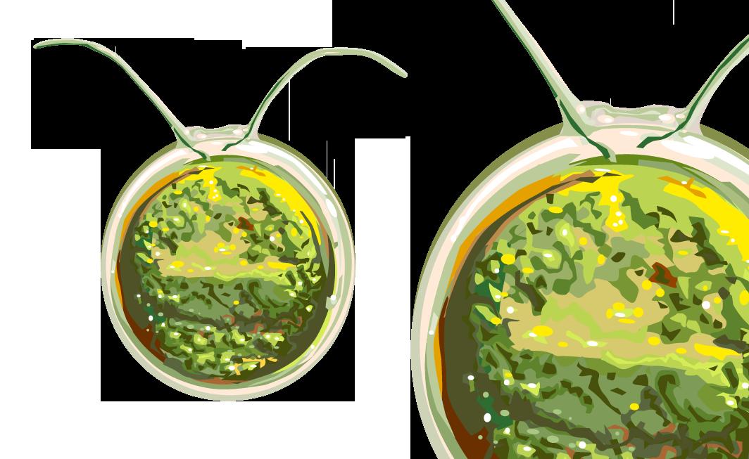 Chlamydomonas reinhardtiiist eine einzellige Grünalgenart. In der Pflanzenforschung ist sie zentraler Modellorganismus für die entwicklungsbiologischen und physiologischen Prozesse von höheren Pflanzen. Erfahren Sie mehr in unserem Steckbrief.