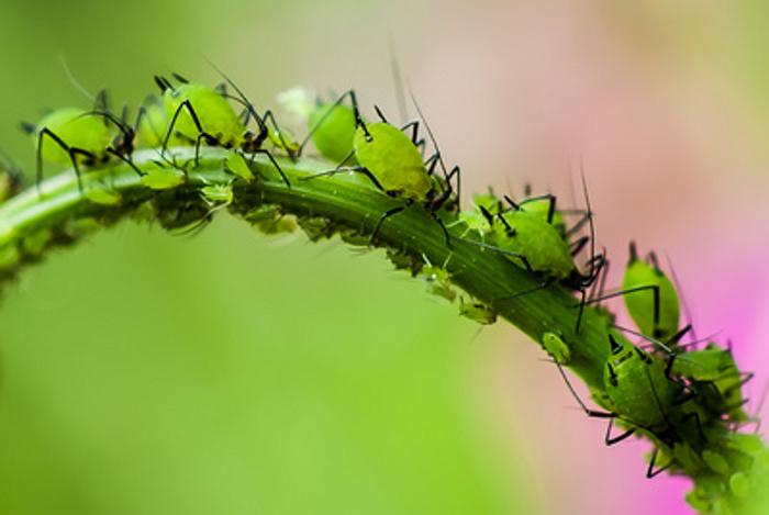 Pflanzen geben bei Schädlingsbefall Duftstoffe ab, welche von Artgenossen in ihrer Umgebung wahrgenommen werden können, woraufhin sie ihren natürlichen Schutzmechanismus aktivieren.
