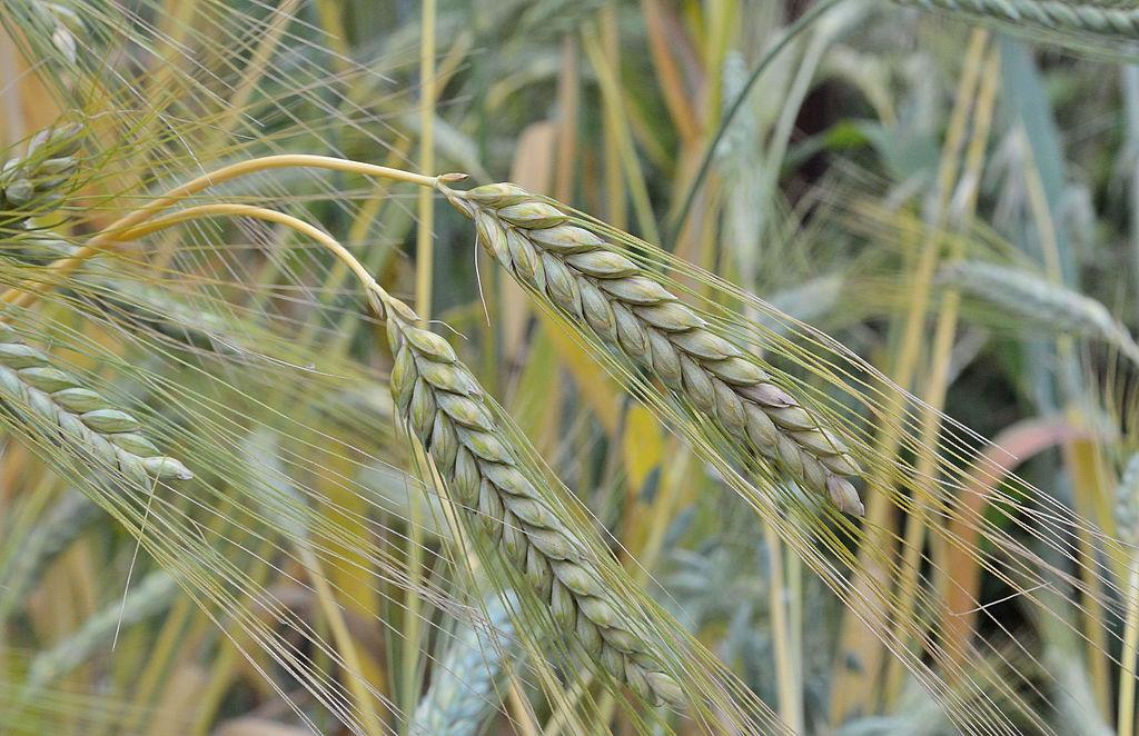 Emmer (Triticum dicoccum) ist eine der ältesten kultivierten Nutzpflanzen. Vermutlich gingen die ersten Kultursorten aus polyploiden Wildtypen hervor. (Bildquelle: © Rasbak/ wikimedia.org/ CC BY-SA 3.0)