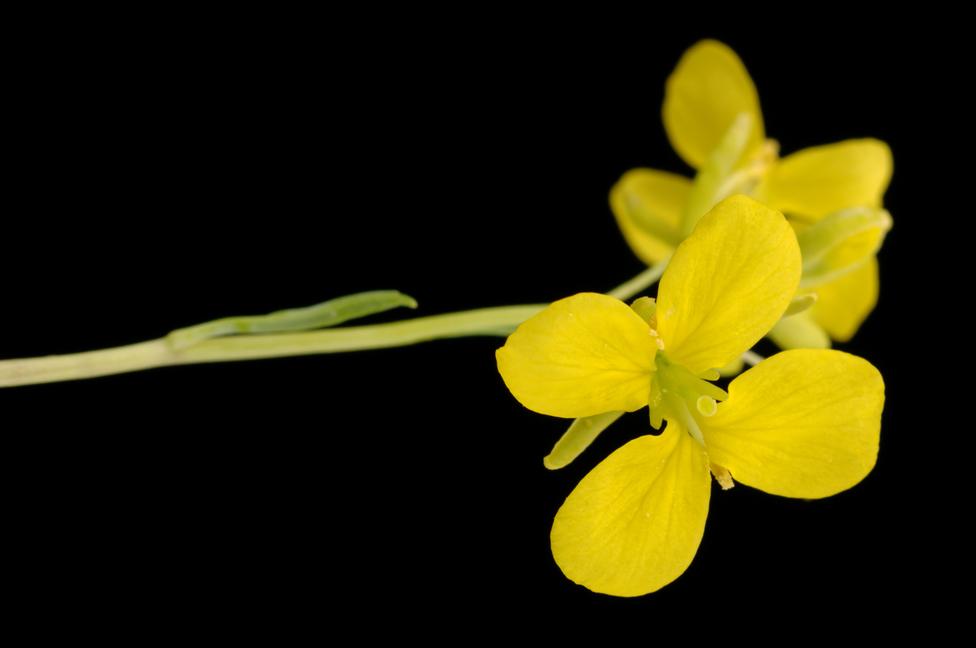 Ausgestattet mit den richtigen genetischen Informationen produzierten Rapspflanzen DHA und EPA. (Bildquelle: © Carl Davies/ CSIRO/ CC BY 3.0)