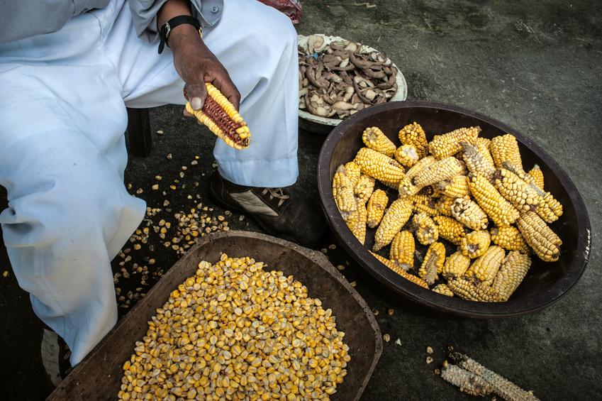 In vielen Regionen Süd- und Mittelamerikas ist Mais ein Grundnahrungsmittel. Als Snack am Straßenrand werden die Körner direkt vom Kolben geknabbert. Viel wichtiger ist aber Maismehl, die Hauptzutat für Tortillas.