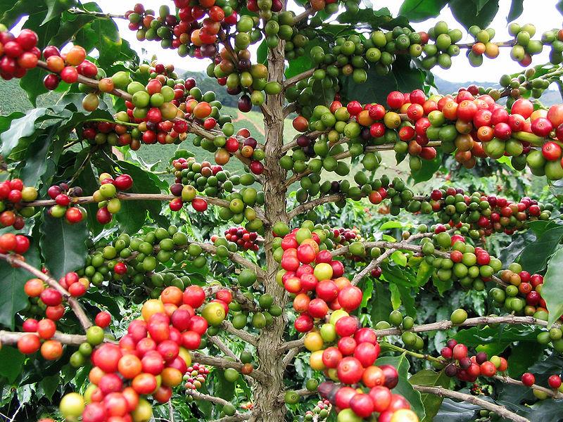 Die Kaffeekirschenkäfer nisten sich in den Früchten der Kaffeepflanze ein und legen dort ihre Eier ab.