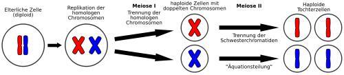 In der Meiose wird der in der Elternzelle doppelt vorliegende Chromosomensatz aufgeteilt (Meiose 1). Dann folgt eine normale mitotische Teilung (Meiose 2). Aus einer Elterlichen (diploiden) Zelle entstehen so vier Zellen mit jeweils nur noch einem einfachen (haploiden) Chromosomensatz.