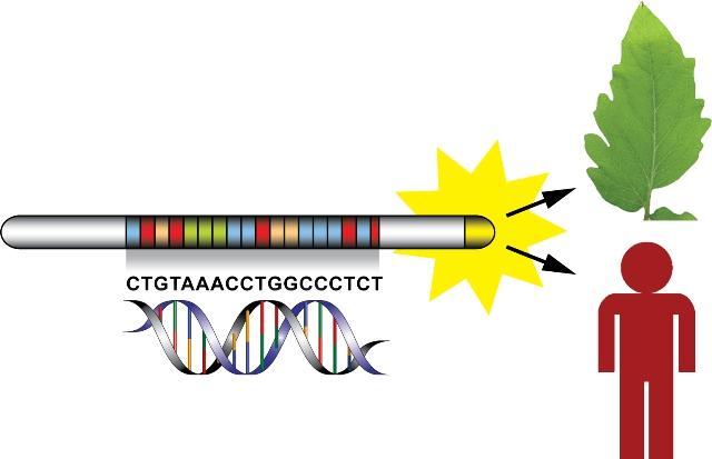 """TALE (""""transcription activator–like effectors"""") ermöglicht eine exakt programmierbare DNA-Spezifität. Das System funktioniert als spezifischer Genschalter in Pflanzen wie auch im Menschen. Die Genauigkeit, mit der diese programmierten Eiweiße nur an bestimmte Gene binden, eröffnet vielfältige Einsatzmöglichkeiten. Von einer gezielten Veränderung des Pflanzengenoms bis hin zur medizinischen Forschung und der Entwicklung von neuen Therapeutika reichen die Anwendungspotenziale von TALE. (Quelle: © Jens Boch / Martin-Luther-Universität Halle-Wittenberg)"""