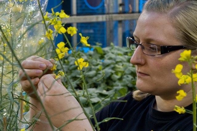 Auch das Züchten neuer Rapssorten ist Handarbeit. Um gezielt zu kreuzen übernehmen Menschen die Aufgabe von Insekten und Wind.