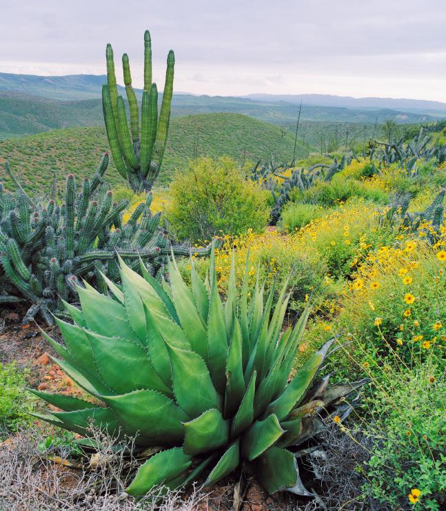 Fette, fleischige Blätter sind eine Anpassung an trockene Standorte. Die neue Blattgeometrie bringt jedoch auch Probleme mit sich. (Quelle: © iStockphoto.com)